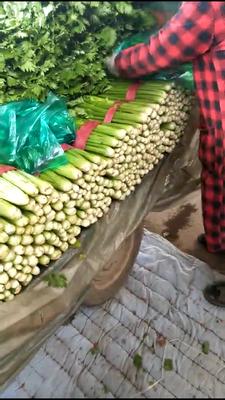 河北省邯郸市永年县西芹 55~60cm 大棚种植 1.0~1.5斤