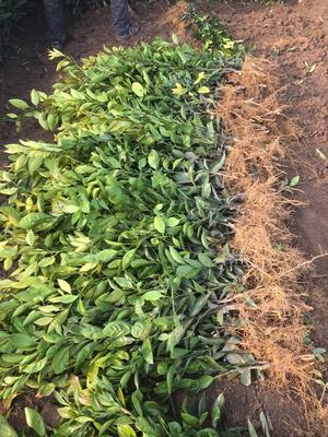 湖北省荆州市松滋市柑树苗 0.5~1米
