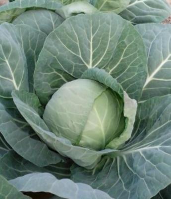 云南省红河哈尼族彝族自治州泸西县铁头圆包菜 0.5~1.0斤