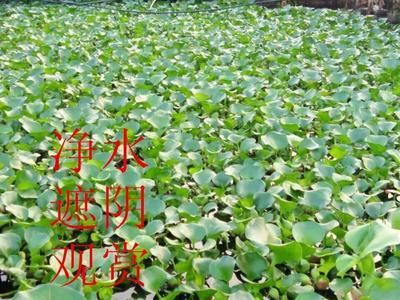 福建省福州市平潭县水葫芦