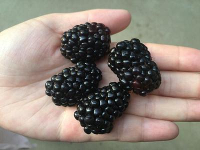 江苏省连云港市赣榆区美国黑莓