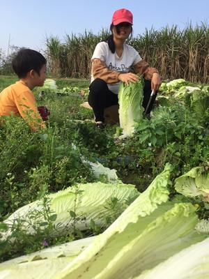 广西壮族自治区贵港市桂平市竹筒白菜 3~6斤 毛菜