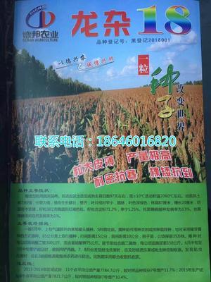 黑龙江省哈尔滨市双城市龙杂18 种子