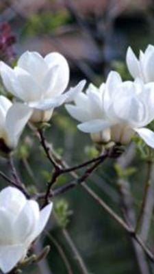 广西壮族自治区钦州市灵山县白玉兰苗