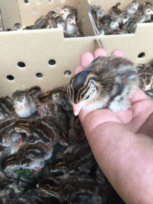 广西壮族自治区南宁市西乡塘区灰色珍珠鸡 2斤以下