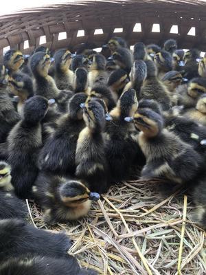 广西壮族自治区南宁市西乡塘区绿头鸭 2-3斤