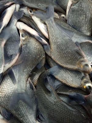 浙江省湖州市南浔区池塘鳊鱼 人工养殖 1-1.5龙8国际官网官方网站