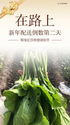天津东丽区南方春菜 35~40cm