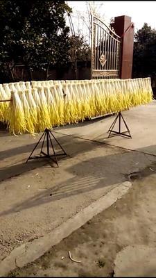 四川省成都市郫县黄韭 二茬 70cm以上
