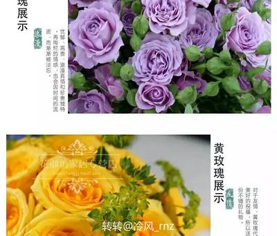 江苏省宿迁市沭阳县大花月季