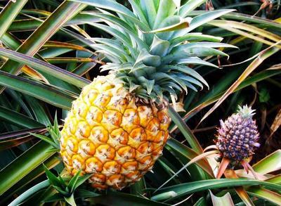 海南省琼海市琼海市海南菠萝 1 - 1.5斤