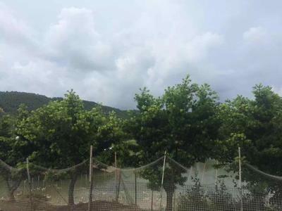 广东省江门市恩平市台湾罗汉松盆景