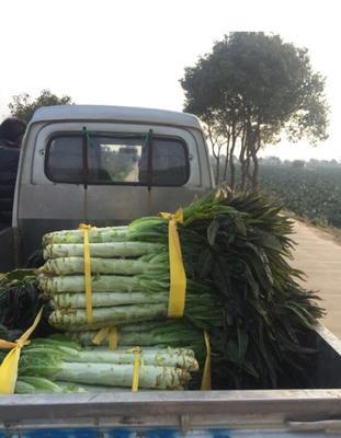 浙江省台州市温岭市紫叶莴笋 24~28cm 2斤以上