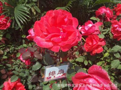 河南省许昌市鄢陵县大花月季