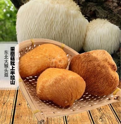 河南省洛阳市涧西区短刺猴头菇 5~7cm