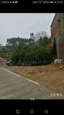 广西壮族自治区南宁市上林县罗汉松