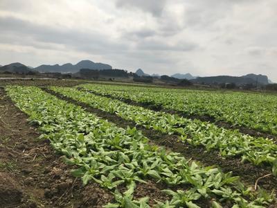 广西壮族自治区柳州市柳城县青香油麦菜 15~20cm以上