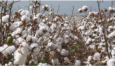 新疆维吾尔自治区喀什地区麦盖提县籽棉