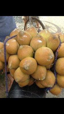 广东省惠州市惠东县高种椰子 5 - 6斤