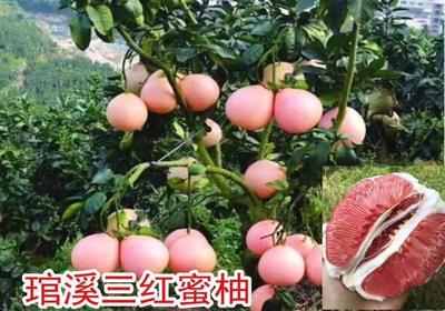 福建省漳州市平和县三红蜜柚苗