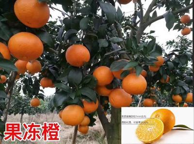 福建省漳州市平和县柑树苗 0.5米以下
