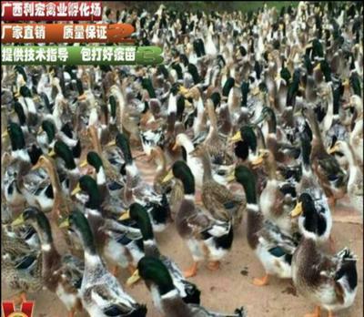 广西壮族自治区南宁市西乡塘区大种杂交鸭苗