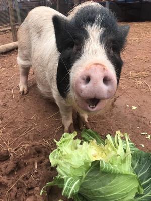 四川省遂宁市船山区巴马香猪 80斤以上