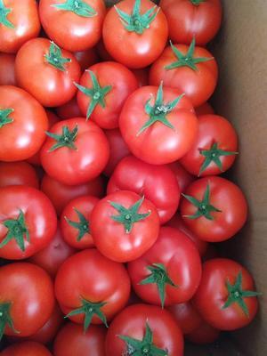 辽宁省葫芦岛市龙港区大红果番茄种子 98% 原种(亲本)
