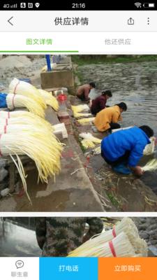 江苏省苏州市常熟市中绿韭菜一号 头茬 30~35cm