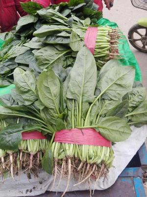 河北省邯郸市永年县小叶菠菜 10~15cm