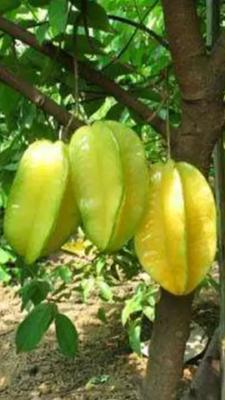广西壮族自治区钦州市灵山县马来西亚甜杨桃苗