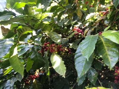 云南省保山市隆阳区云南小粒咖啡豆