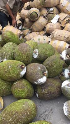 云南省红河哈尼族彝族自治州河口瑶族自治县越南菠萝蜜 10-15斤