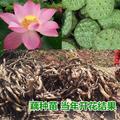 太空莲36号藕种