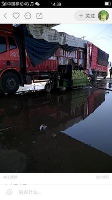 江苏省徐州市沛县西芹 55~60cm 大棚种植 0.5斤以下