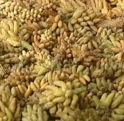 云南省玉溪市易门县松花粉 24个月以上