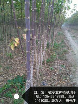 河南省许昌市鄢陵县金叶复叶槭