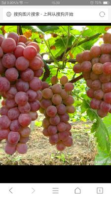 河北省邢台市威县巨峰葡萄 10%以下 1次果 1.5- 2斤