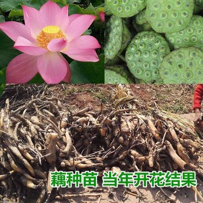 江西省抚州市广昌县太空莲36号藕种