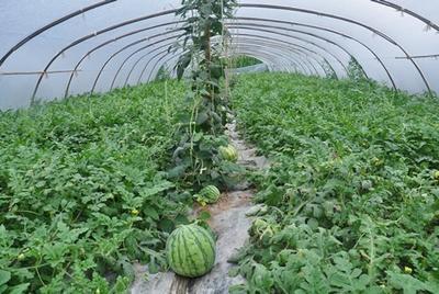 山东省潍坊市昌乐县京欣西瓜 有籽 2茬 8成熟 10斤打底
