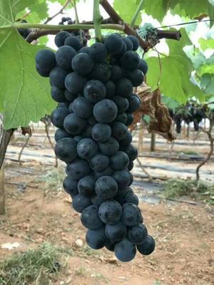 云南省红河哈尼族彝族自治州建水县夏黑葡萄 5%以下 1次果 2斤以上