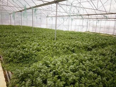 贵州省铜仁市万山区香芹 60cm以上 大棚种植 0.5~1.0斤