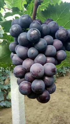 辽宁省锦州市北镇市巨峰葡萄 5%以下 1次果 1-1.5斤
