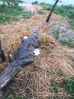 广东省茂名市高州市鳄鱼罐头 24个月以上