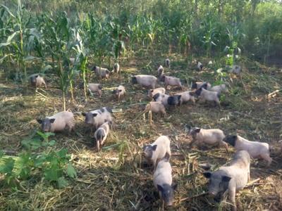 江苏省无锡市江阴市小香猪 80斤以上
