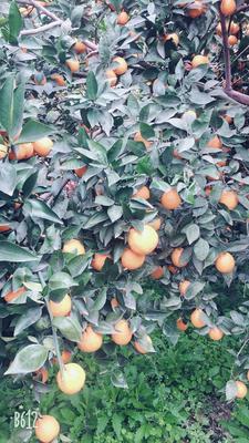 这是一张关于黄果柑 5.5 - 6cm 3两以上的产品图片