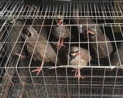 山东省菏泽市巨野县美国鹧鸪 0.8斤以上
