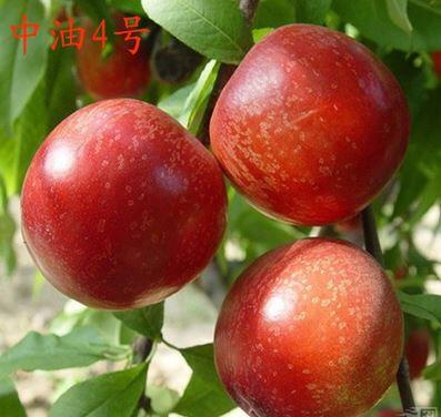 山东省青岛市平度市中油4号桃树苗 0.5~1米