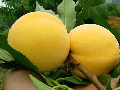 山东省青岛市平度市黄金蜜桃树苗 0.5~1米