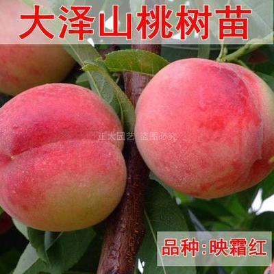 山东省青岛市平度市映霜红桃苗 1~1.5米